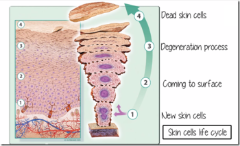 skin-cells-life-cycle